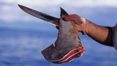 shark finning costa rica main