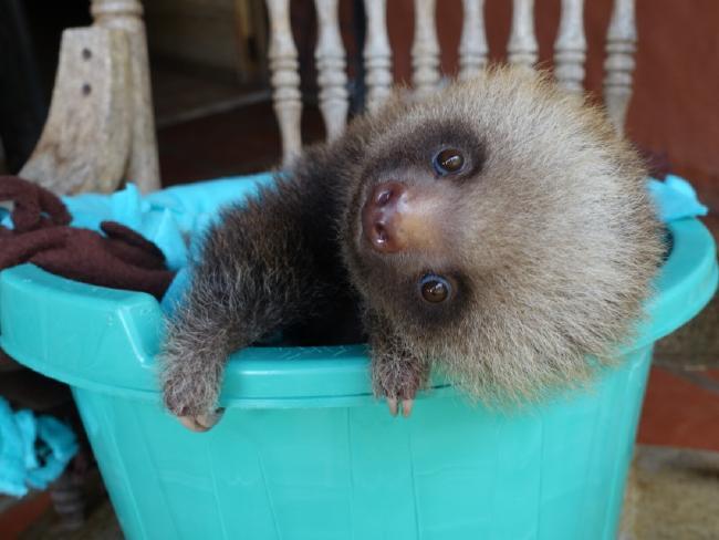 sloths in costa rica climbing 1