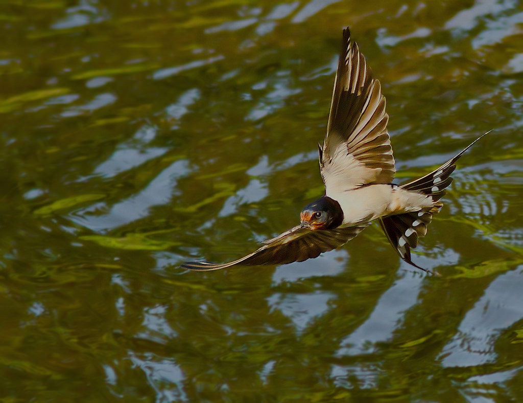 swallows on water