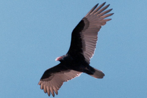 totem vulture