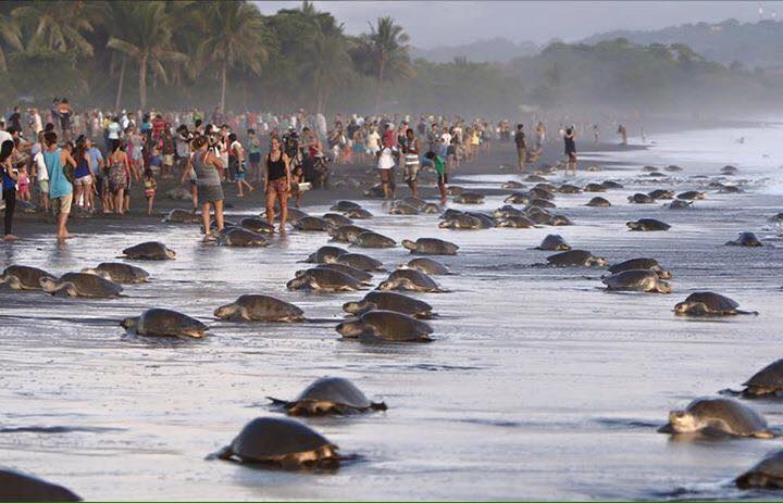 tourists sea turtle nesting costa rica 1