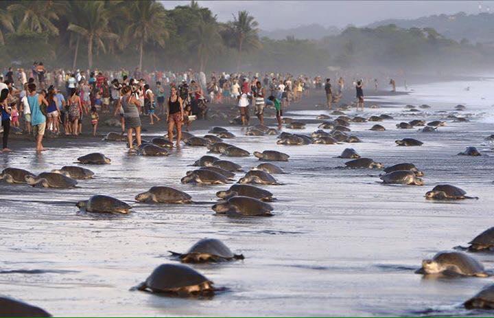 tourists sea turtle nesting costa rica 1