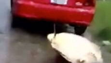 turtle dragged behind car in costa rica