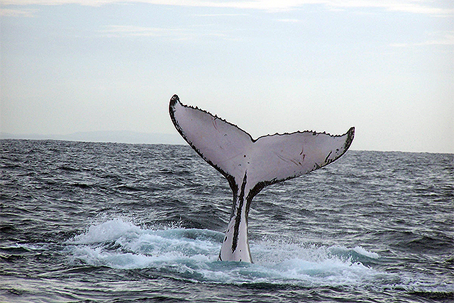 whale watching costa rica 1